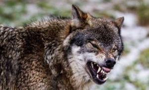 آمادهباش محیطزیست کبودراهنگ برای زندهگیری گرگها