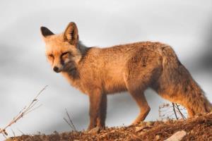 فضای مجازی شکارچیان «روباه» را در بهار به دام انداخت