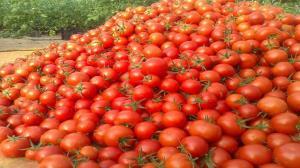 پیش بینی برداشت ۳۱۰ هزار تن گوجه فرنگی در استان قزوین
