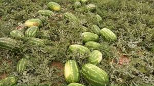هندوانههای بیضا در مسیر صادرات