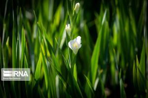 برداشت گل گلایول در بروجن چهارمحال و بختیاری