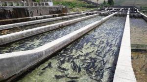 پرورش۴۵٠ تن ماهی از ابتدای سال در خراسان جنوبی