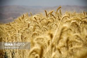 کاهش ۶۵ درصدی تولید گندم در شهرستان چناران