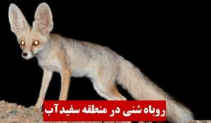 مشاهده روباه شنی در منطقه سفیدآب