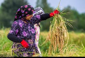 ۵ درصد از محصول شالیزارهای گیلان برداشت شده است