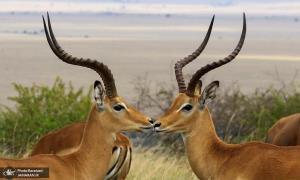 بُزگَوَزنها در ذخیره گاه پارک ملی کنیا