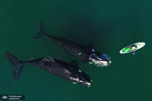 شنای نهنگ ها در کنار مردی که در حال تمرین با پدل برد خود است