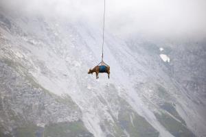 انتقال گاو با هلی کوپتر در مراتع مرتفع «آلپ» سوئیس