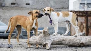 سگهای ولگرد کرمان عقیم و پلاکدار میشوند