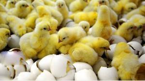 توقیف محمولههای مرغ و جوجه یکروزه قاچاق در همدان