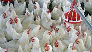 افزایش تولید مرغ گوشتی در بهمئی با راهاندازی خط تولید جدید