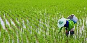۶۰۴ هکتار از اراضی گچساران زیر کشت برنج رفت