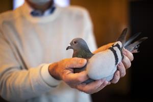 شکارچی متخلف کبوتر در تویسرکان به دستگاه قضایی معرفی شد