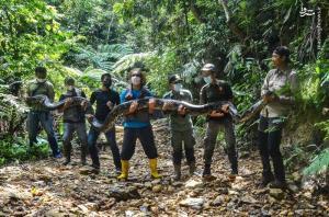 مار پیتون ۹ متری در دستان محیط بانان اندونزی