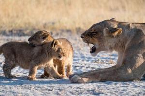 صحنه ای جالب از تشر زدن شیر والد به فرزندانش