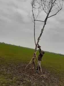 افزایش کاشت درختان مصنوعی برای فریب پرندگان شکاری در گیلان