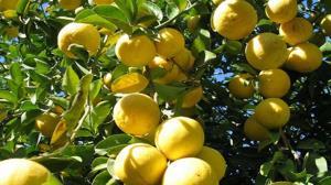 آغاز برداشت لیمو شیرین از باغهای شهرستان داراب