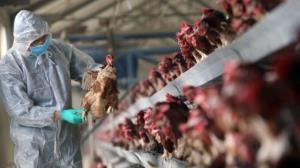 آمادهباش دامپزشکی اردبیل برای مهار آنفلوانزای فوق حاد پرندگان