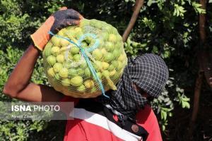امسال ۹۰۰۰ تن لیمو در داراب برداشت میشود