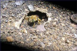 لانهسازی زنبور در میان آتش فشان فعال!