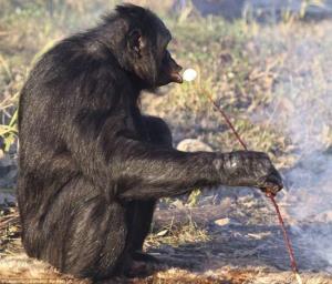 شامپانزه ای که آشپزی میکند!