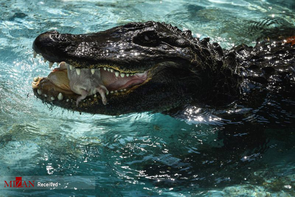 تصاويري جالب از «موجا» پيرترين تمساح دنيا