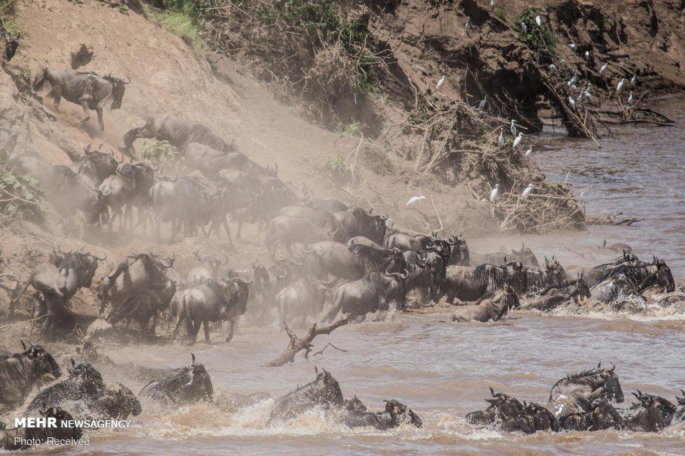 مهاجرت بزرگ دسته جمعي حيوانات حيات وحش آفريقا