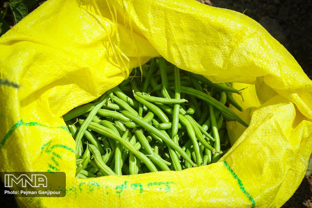 برداشت محصول در مزارع پشتکوه فريدن