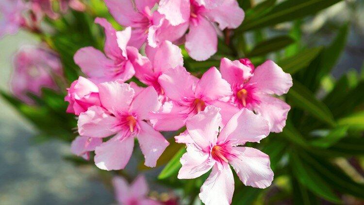 عصاره گل خرزهره کووید-۱۹ را علاج نمیکند