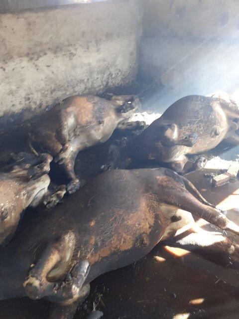 ۱۳ رأس دام سنگین در اسدآباد زنده در آتش سوختند