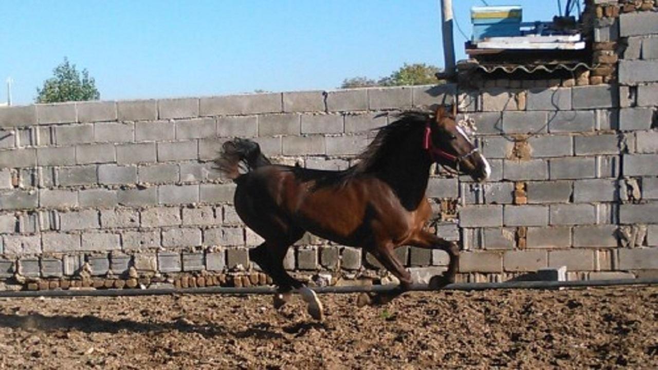 راهاندازی مرکز پرورش و اصلاح نژاد اسب کُرد در سقز