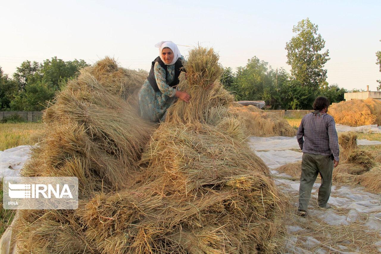 برداشت برنج در رضوانشهر گیلان