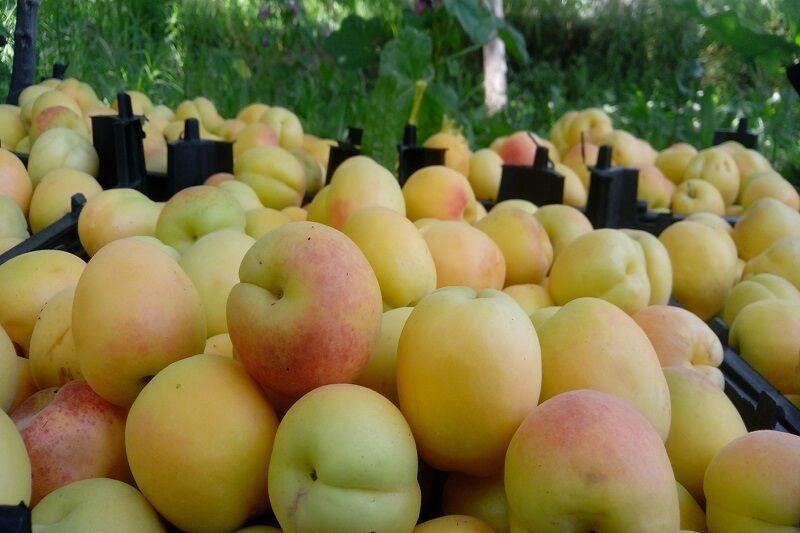 ۸۲۰۰ تن زردآلو از باغهای دامغان برداشت شد