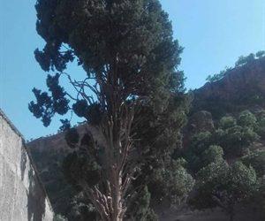 ثبت درخت افسانهای اَوِرس لرستان در فهرست آثار ملی