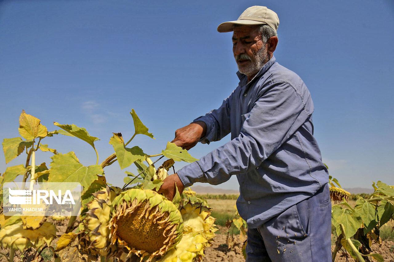 برداشت تخمه آفتابگردان از مزارع خراسان شمالی