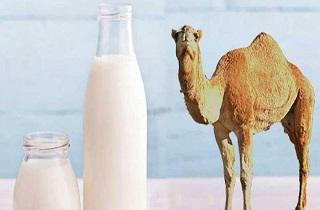 خواص درمانی شیر شتر