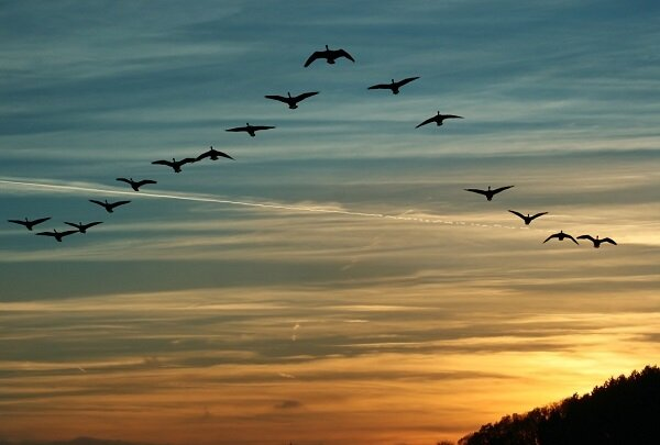 کشف راز نحوه شناسایی میدان مغناطیسی زمین توسط پرندگان