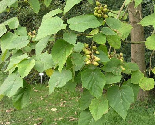 کاشت درخت «پالونیا» ممنوع