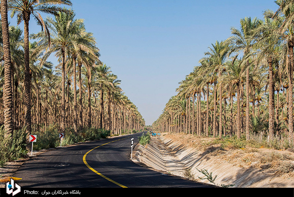 عکس/ برداشت خرما از نخلستانهای بوشهر