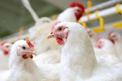 قیمت مرغ به کانال ۱۸ هزار تومان بازگشت