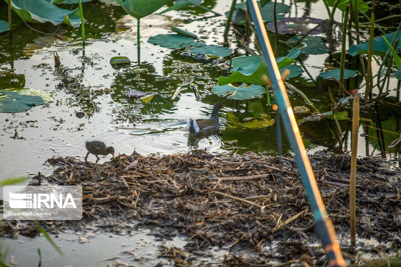 نجات آبزیان تالاب گریبلمک پلدختر از کمآبی