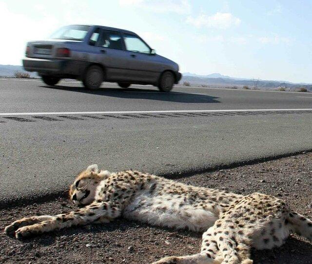 مخالفت محیط زیست با ساخت جاده در زیستگاه یوزپلنگ آسیایی