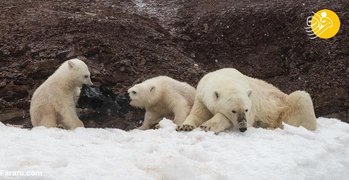 عکس/ بچه های خرس قطبی در حال خوردن کیسه زباله!