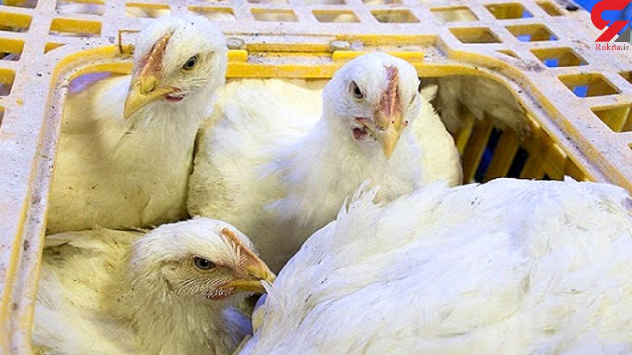 کشف بیش از ۲ هزار قطعه مرغ قاچاق در فامنین