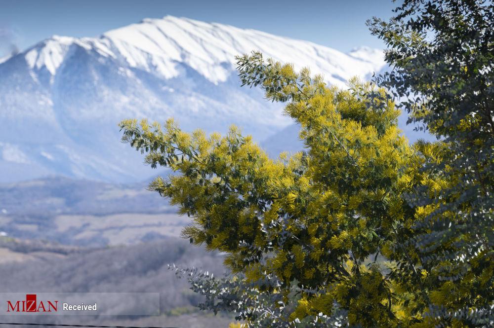 شکوفایی درختان آکاسیا در سوچی