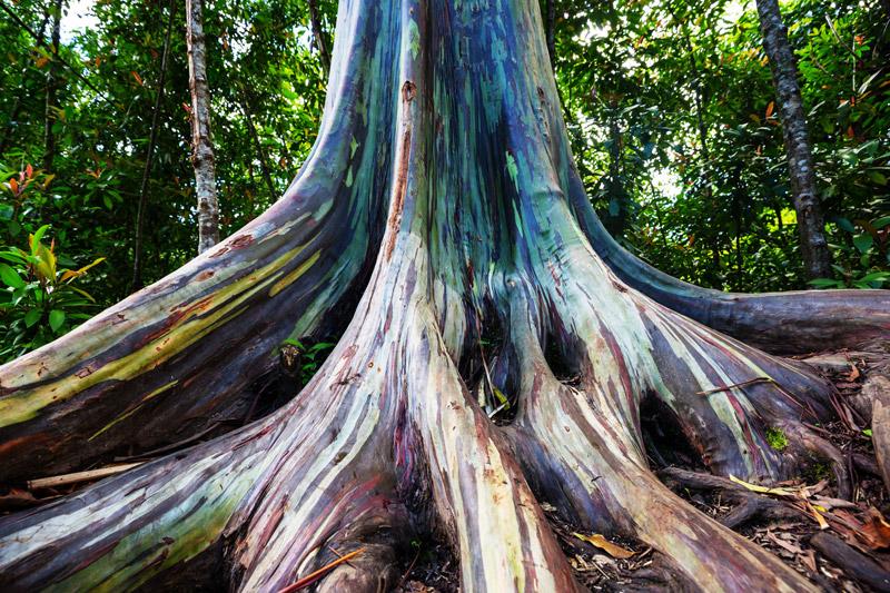 درختی که شبیه رنگین کماناست!