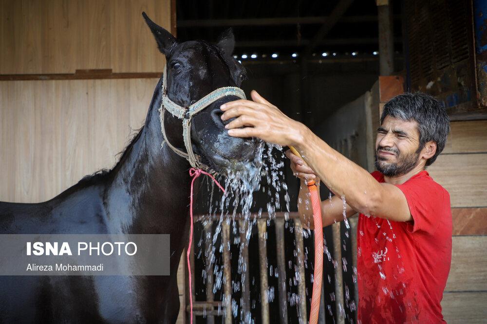 مشکلات پرورش و نگهداری اسب عرب