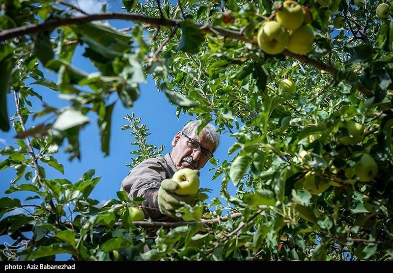 برداشت سیب از باغات منطقه کاکارضا لرستان