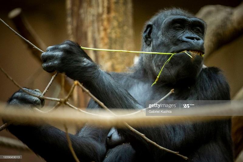 تصاویری جذاب از زندگی گوریل ها در باغ وحش پراگ