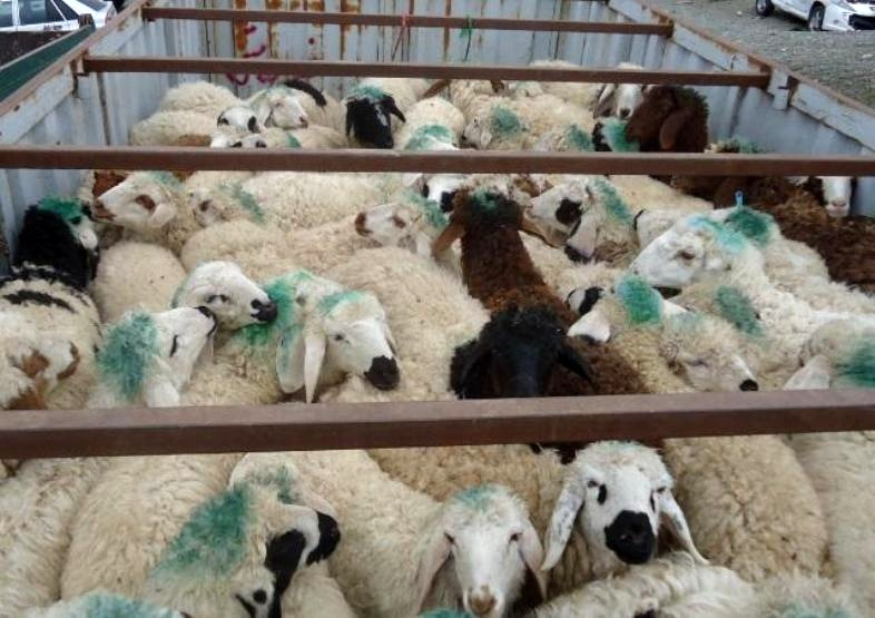 کشف 107 راس گوسفند قاچاق در سروستان
